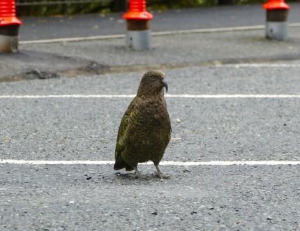 Kea auf der Milford Sound Road