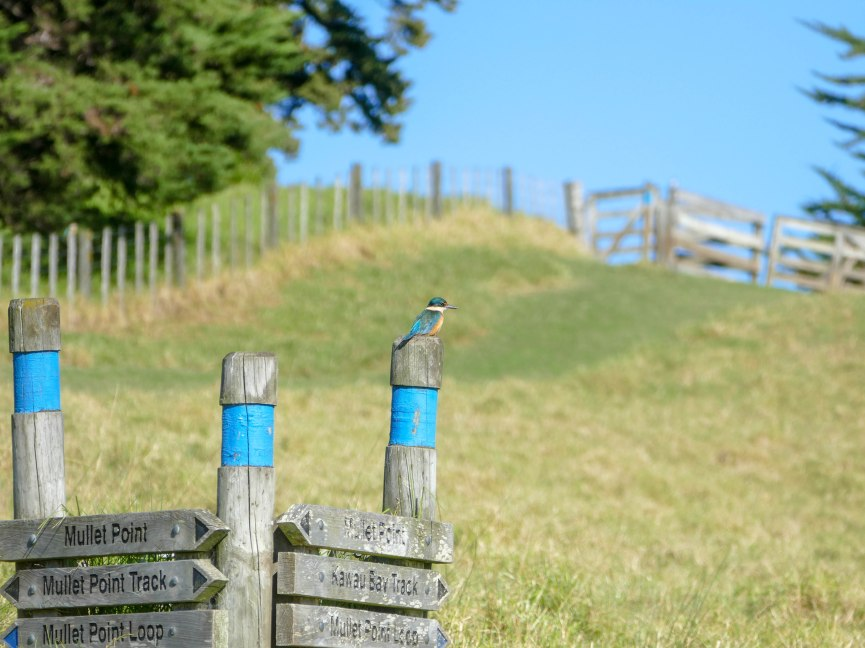 Eisvogel im Scandrett Regional Park